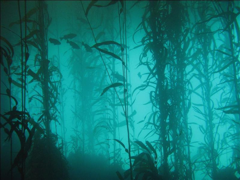 Ces grandes étendues d'algues marines, pouvant atteindre 100 mètres de profondeur, s'appellent des forêts de Kelp ?