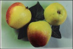 Cette pomme à la forme très évocatrice existe un peu partout, mais c'est en Normandie que l'on en trouve le plus grand nombre. Elle fait partie des -----.