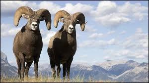 Les ... mâles possèdent de grandes cornes spiralées, recourbées vers l'avant.
