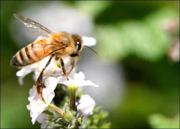 Une butineuse récolte-t-elle 40 mg de nectar, ce qui peut donner 10 mg de miel et 20 mg de pollen ?