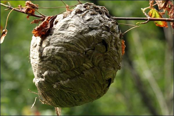 Sur cette photo, j'observe un nid de guêpes :