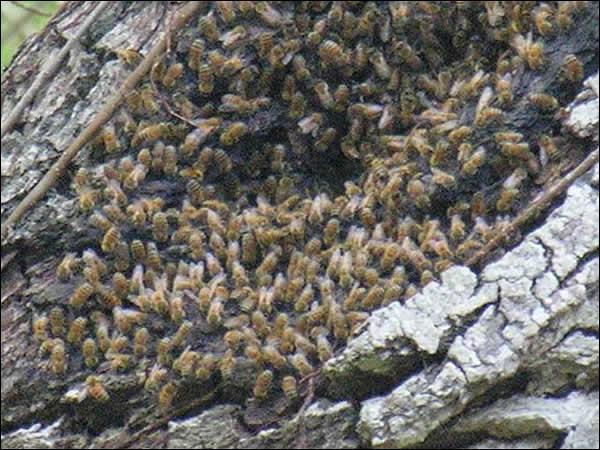 La gelée royale est une substance blanchâtre et gélatineuse sécrétée par certaines glandes des jeunes abeilles nourricières :
