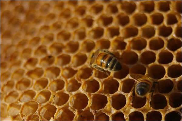 La reine des abeilles, nourrie à la gelée royale, vit de 3 à 5 ans :
