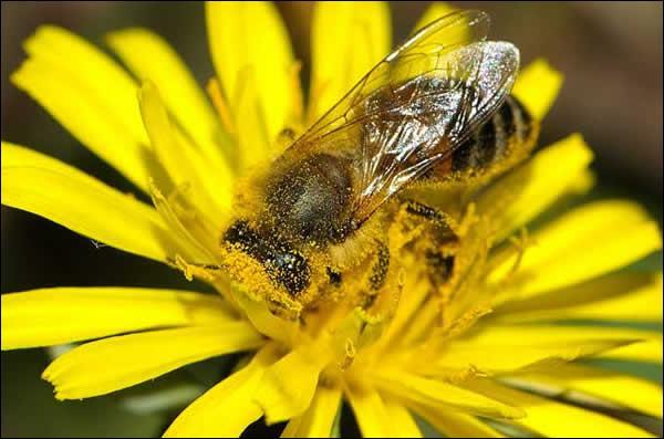 Tandis que les abeilles, nourries au pollen et au miel, ne vivent que quelques semaines en été et quelques mois en hiver :