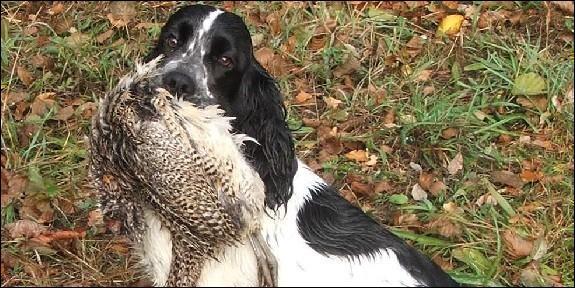 Le cocker a besoin de pouvoir se retourner vite et n'a pas peur des ronces, il furète sans cesse et lorsqu'il débusque une proie ne la lâche pas. Comment les chasseurs appellent-ils ce comportement ?