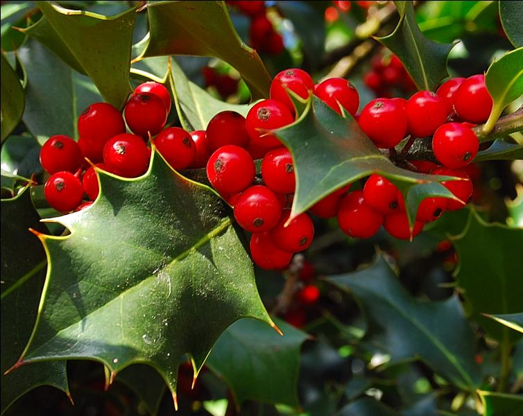 Et le houx, l'un des symboles de Noël, comment le traduit-on en anglais ?