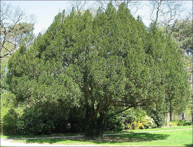 If  signifie si en anglais, mais désigne également un arbre en français. Comment dit-on if en anglais ?