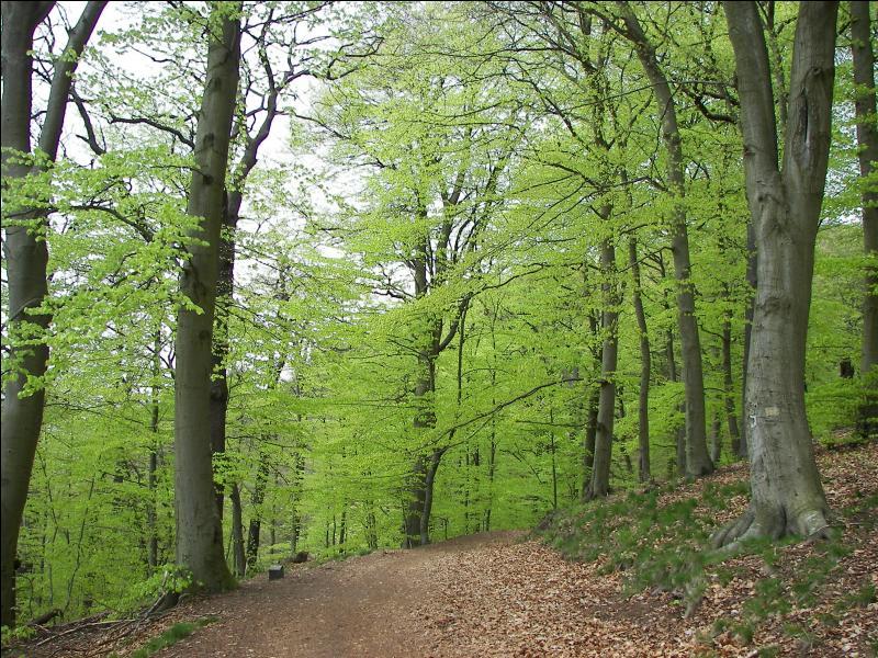 Comment traduit-on le hêtre dont le bois est très apprécié pour la confection de meubles ?