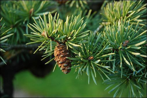 Comment traduit-on le mot pin en anglais, dont le nom évoque la traduction d'ananas dans la même langue ?