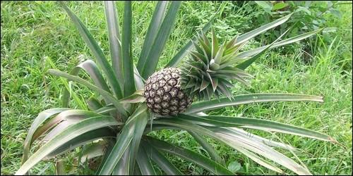 L'ananas est un arbre.