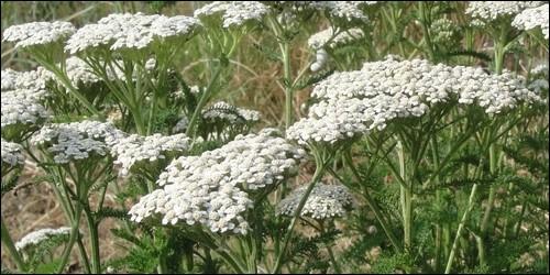 Quelle fleur est une Achillée ?