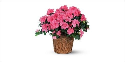 Quelle fleur appartient à la famille des Éricacées ?
