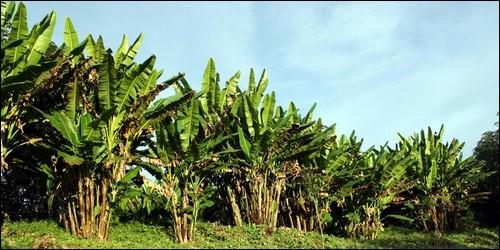 L'abaca est originaire des Philippines. Quel arbre est-ce ?