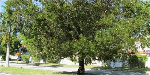 Lequel de ces bois appartient à la famille des Méliacées ?