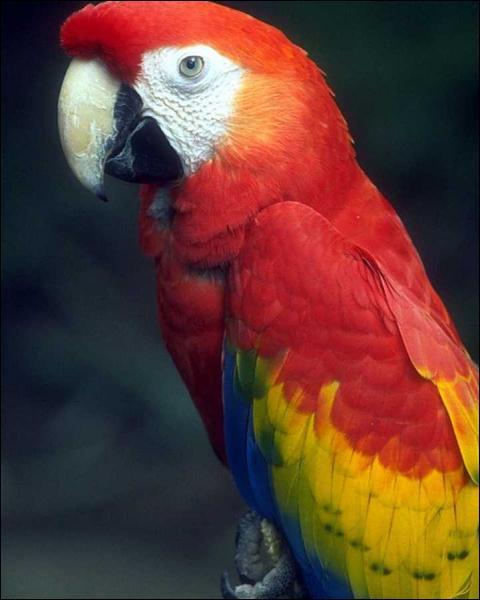 Sur quel continent, vivent à l'état sauvage, ces oiseaux hauts en couleurs, que sont les aras ?