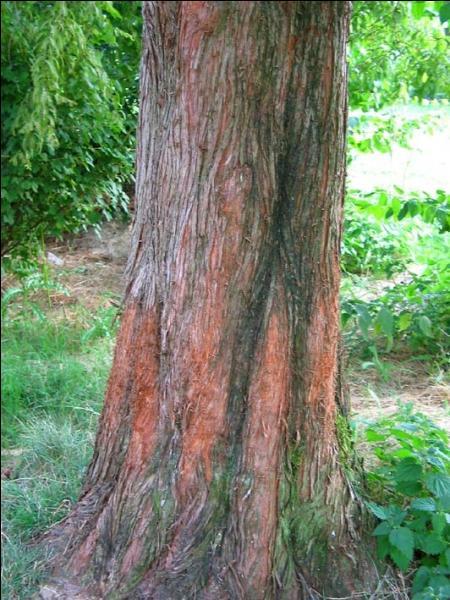 Un des rares conifères à feuilles caduques ; ses feuilles prennent une teinte rouge cuivrée ou rose en automne.