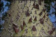 Évitez aussi de vous adosser à cet arbre ! Originaire des régions tropicales et subtropicales d'Amérique du Sud, il est surnommé  árbol botella  ou  arbre bouteille .
