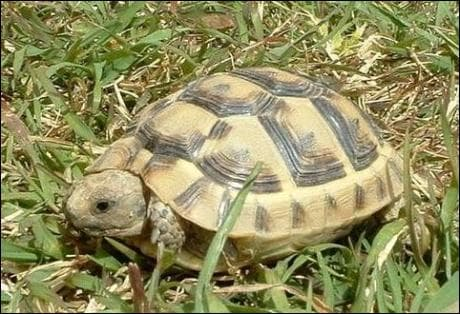 Combien d'heures faut-il en moyenne à une tortue pour faire 1500 mètres ?