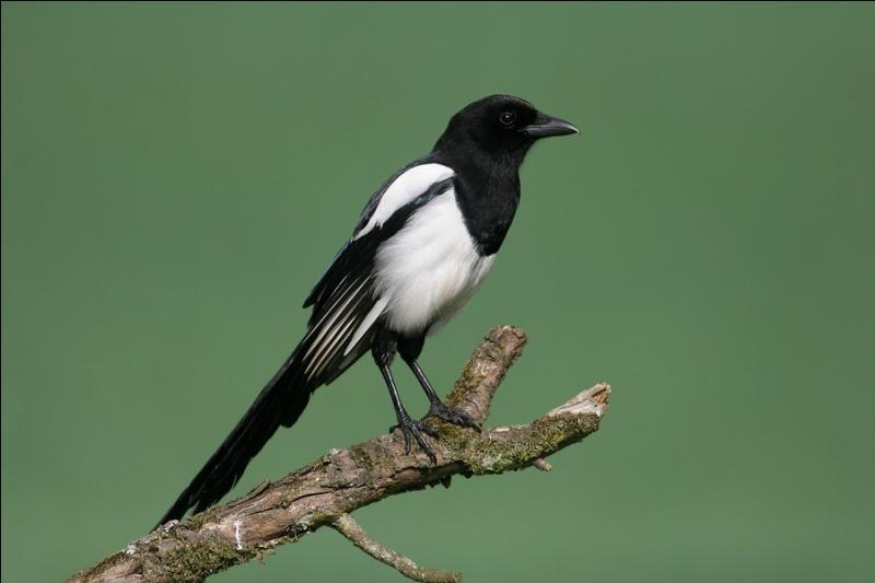 Si vous changez la lettre centrale du nom de cet oiseau, appelé aussi  agasse  vous obtiendrez le nom...