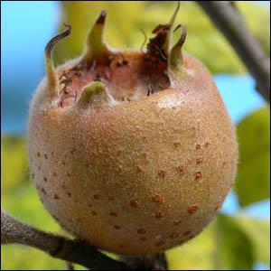Quels fruits se consommant une fois blets portent aussi le nom de  cul de chien  ?