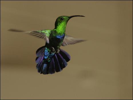 En brésilien, on appelle ce splendide petit oiseau  qui embrasse les fleurs . Sous quel nom le connaît-on ?