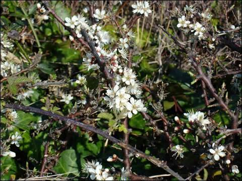 Ce sont des fleurs de printemps poussant sur un arbuste épineux, de la famille des Rosaceae. On fait de l'eau-de-vie avec les petits fruits.