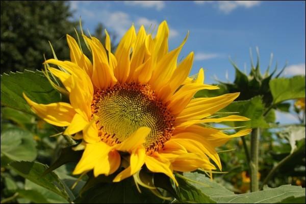 Comment s'appelle cette disposition qu'ont les tournesols à regarder vers l'est le matin, suivre le soleil dans la journée, regarder vers l'ouest le soir ?