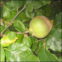 Bientôt une récolte de fruits piriformes, cotonneux.