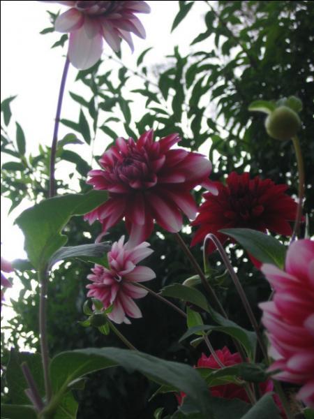 Il appartient à la famille des Asteraceae.