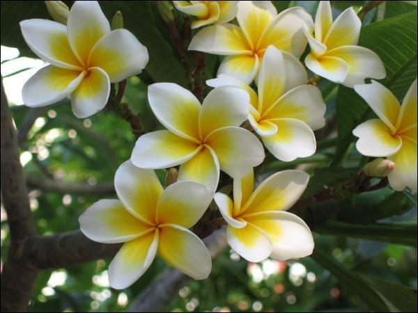 Très bel arbre dont les fleurs dégageant un parfum suave sont appelées  fleurs des temples .