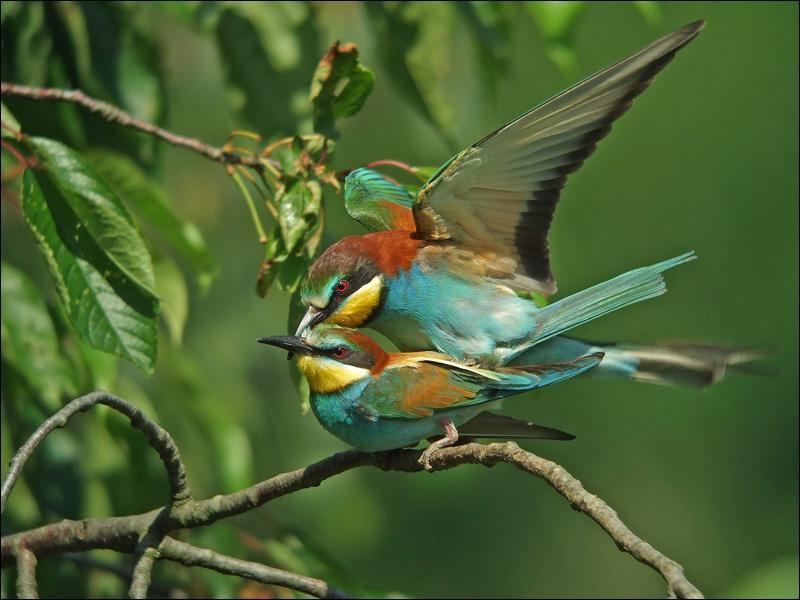 Il appartient à la famille des Meropidae. Il porte une livrée brillamment colorée.