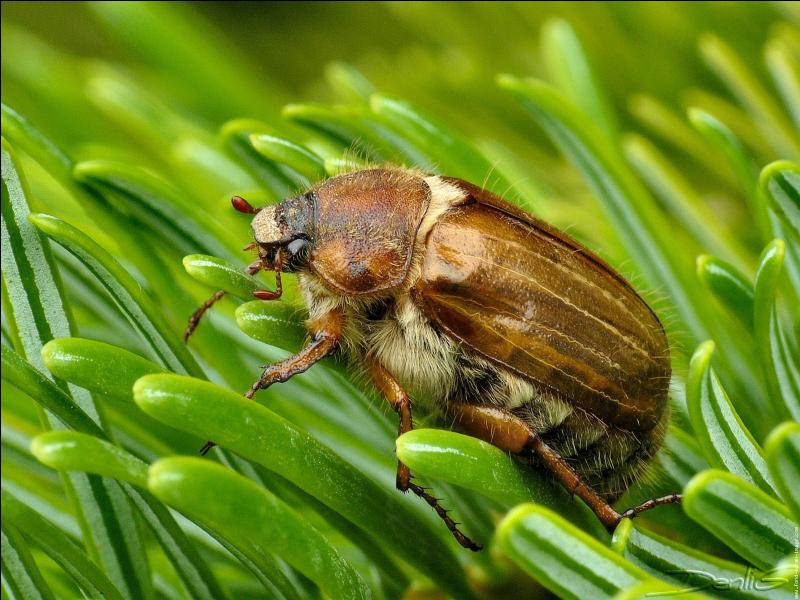 Quelle est la caractéristique des coléoptères auxquels appartient le hanneton du sapin ?