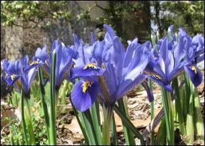 Où se trouve le principe odorant de l'iris ?