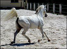 Le pur-sang arabe vit en Mongolie.