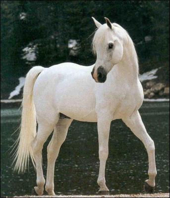 Ce cheval est-il un pur-sang arabe ? Si oui, quelle est sa robe ?