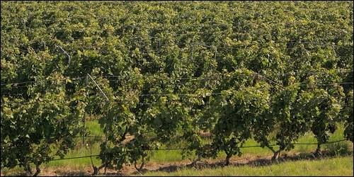 """Quelle mot correspond à cette définition : """"Plante dicotylédone dialypétale, telle que la vigne et des arbustes grimpant à l'aide de vrilles""""."""