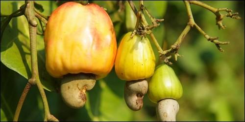 Quel arbre est cultivé pour sa noix de cajou ?