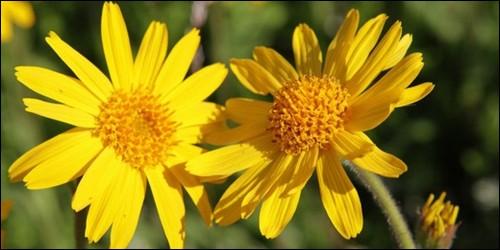 Comment s'appelle cette plante que l'on utilise en médécine, pour les hématomes et les ecchymoses ?