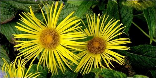 Quelle est la période de floraison de l'aunée ?