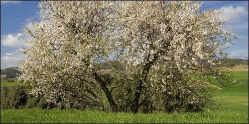 Quel arbre est un symbole de l'amour et de la virginité ?
