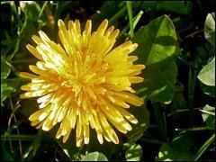 Le pissenlit est une plante ... . Les fleurs sont formées de languettes.