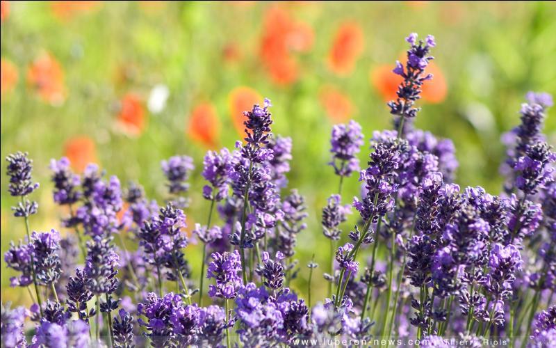 Quel plaisir de se promener sur les sentiers de Provence qui ... la lavande et le thym.