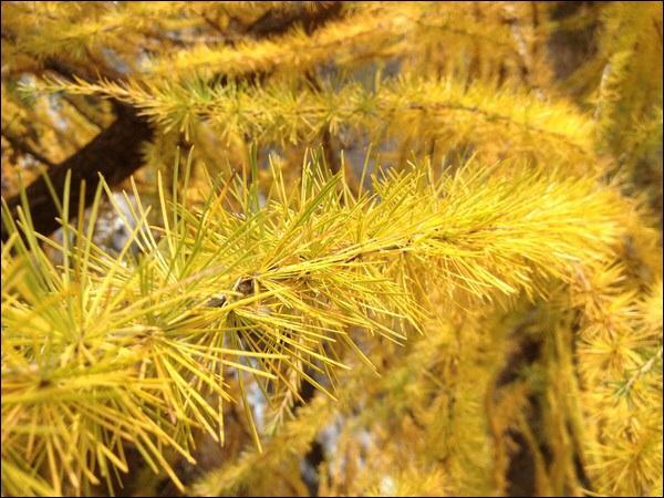 Mais l'automne nous offre aussi de belles teintes  dorées .