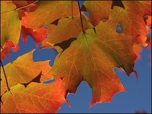 Les  érables  se parent de belles couleurs flamboyantes.