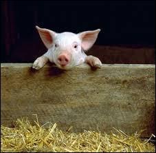 Comment dit-on  cochon  en allemand ?