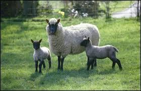 Comment dit-on  mouton  en allemand ?