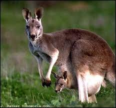Comment dit-on  kangourou  en allemand ?