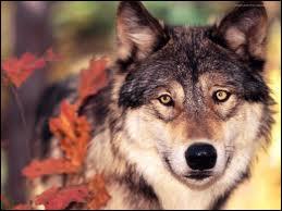 Comment dit-on  loup  en allemand ?