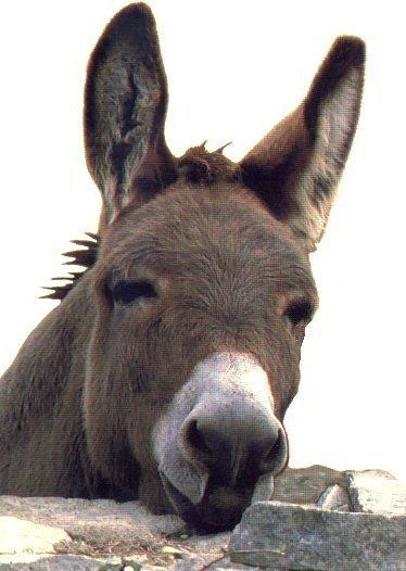 L'âne dans les expressions françaises