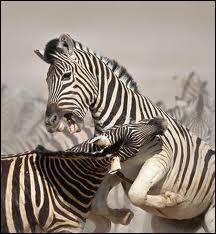Quels sont les prédateurs des zèbres dans la nature ?